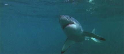 O77-shark4b