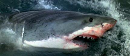 O77-shark8b