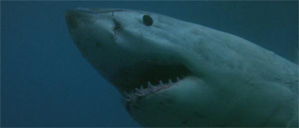 O77-shark9b